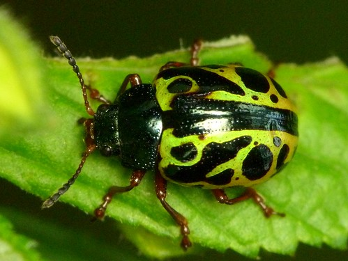 Leaf Beetle, Calligrapha fulvipes, Chrysomelidae