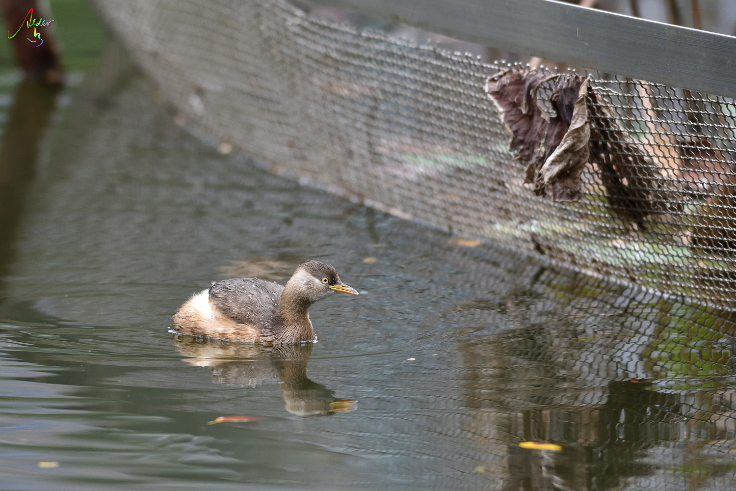 Little_Grebe_1649