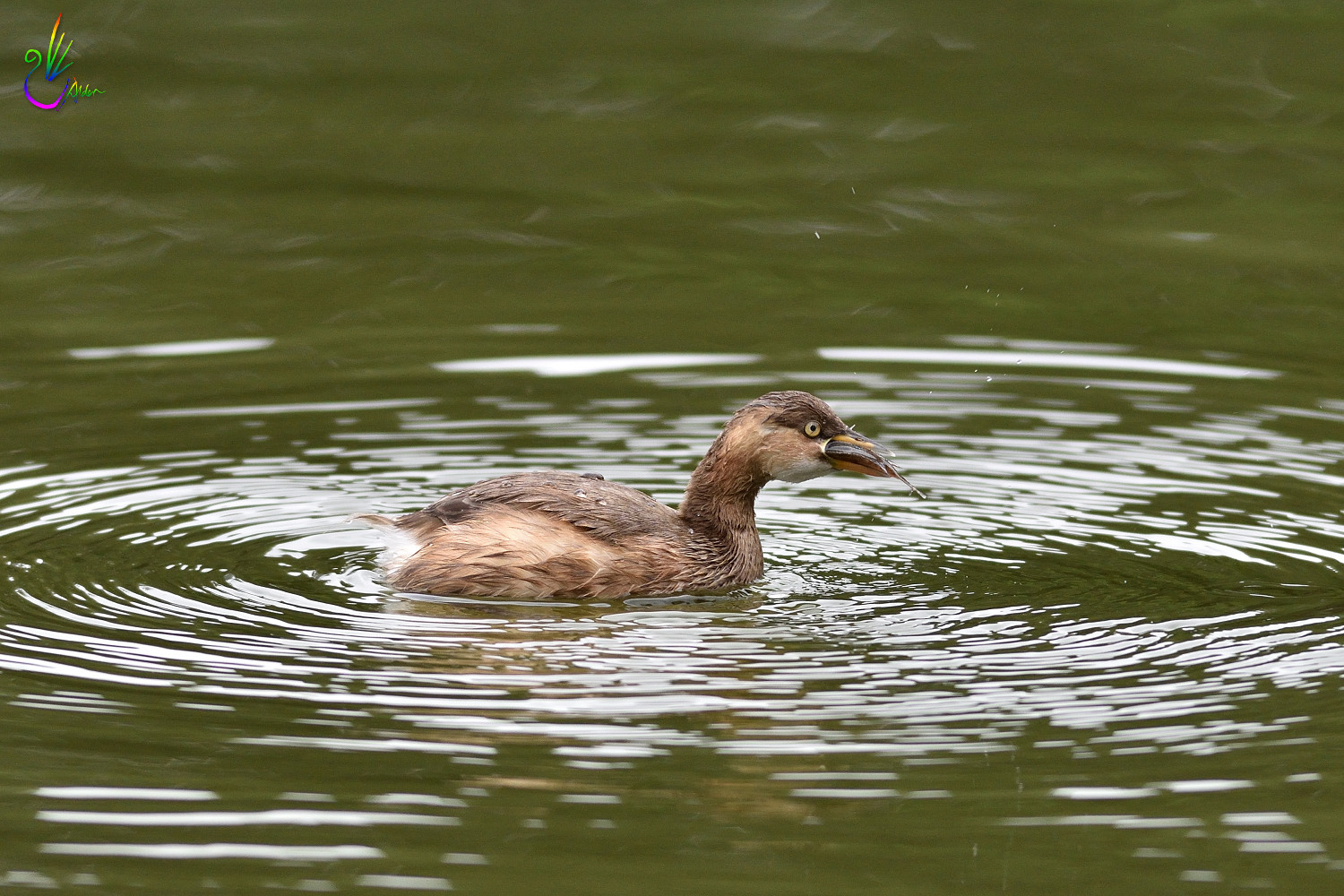 Little_Grebe_1471