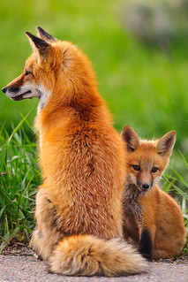 Red Fox Kit with Mommy | by FB.Loves_The_Whole_World