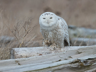 Snowy owl | by Through The Big Lens