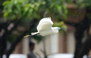 Little egret flying in rain | by cl.lin