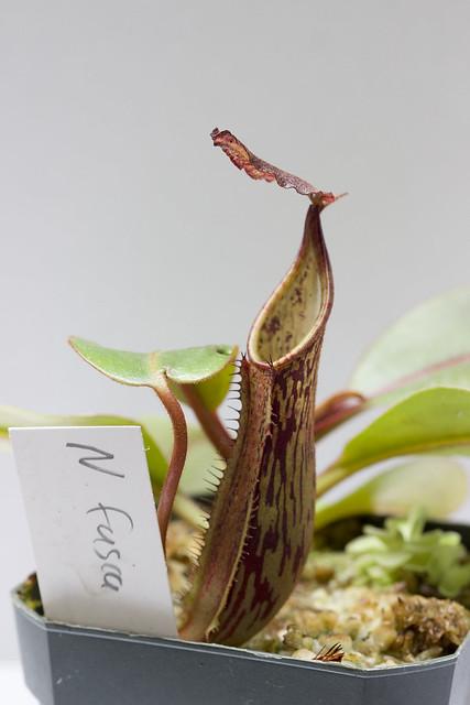 Nepenthes fusca Sarawak BE