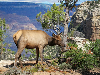 Grand Canyon Nat Park: Elk Browsing in Fall: 0010 | by Grand Canyon NPS