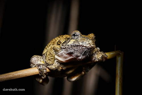 Gray Treefrog (Hyla versicolor) - male, photographed during spring breeding event | by DaveHuth