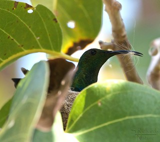 Green throated hummingbird, female | by Through The Big Lens