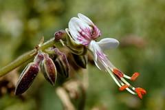 Pelargonium keeromsbergense