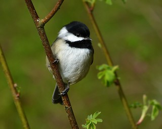 Chickadee From A Parallel Universe | by ebirdman