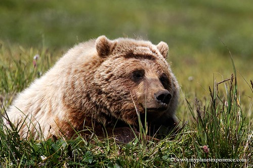 Grizzly | by My Planet Experience