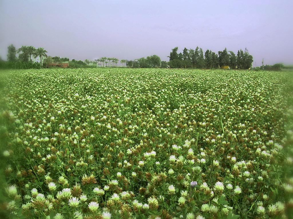 Egyptian clover field, Trifolium alexandrinum blossoms (Or… | Flickr