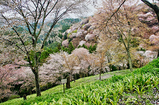 Flowering Cherry forest in Yoshino Japan | by Tatters ✾
