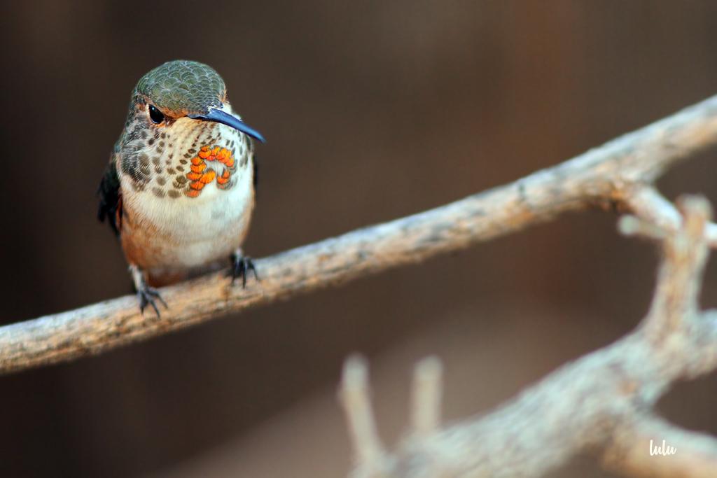 Allen's-Hummingbird-031116