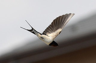 flying barn swallow belly | by Katsura Miyamoto