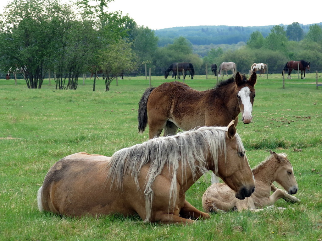 Mommy And Baby Horses Laying Down Brown Horse Visiting