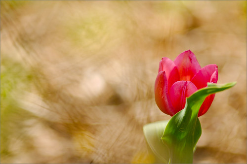 The Tulip under the Forsythia | by joeldinda