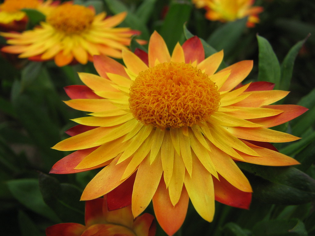 Everlasting Daisy Xerochrysum Bracteatum Sundaze Flame Flickr