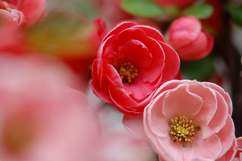 Japanese quince | by naruo0720