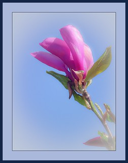magnolia | by claudedelrieu21