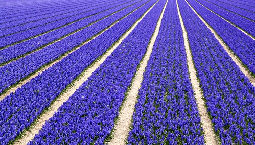 hyacinth fields near Sassenheim | by Joey Johannsen