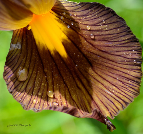 Iris Black Beauty Splashed Petal | by GemElle Photography - off & on sorry