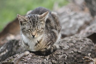 brown-grey striped feral cat asleep on a log in Morningside Park | by @harryshuldman