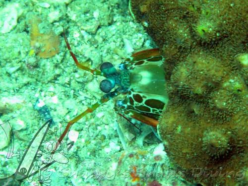 how to get rid of mantis shrimp