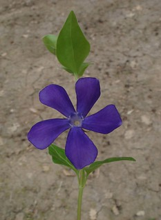 Vinca | by vincenzolerro