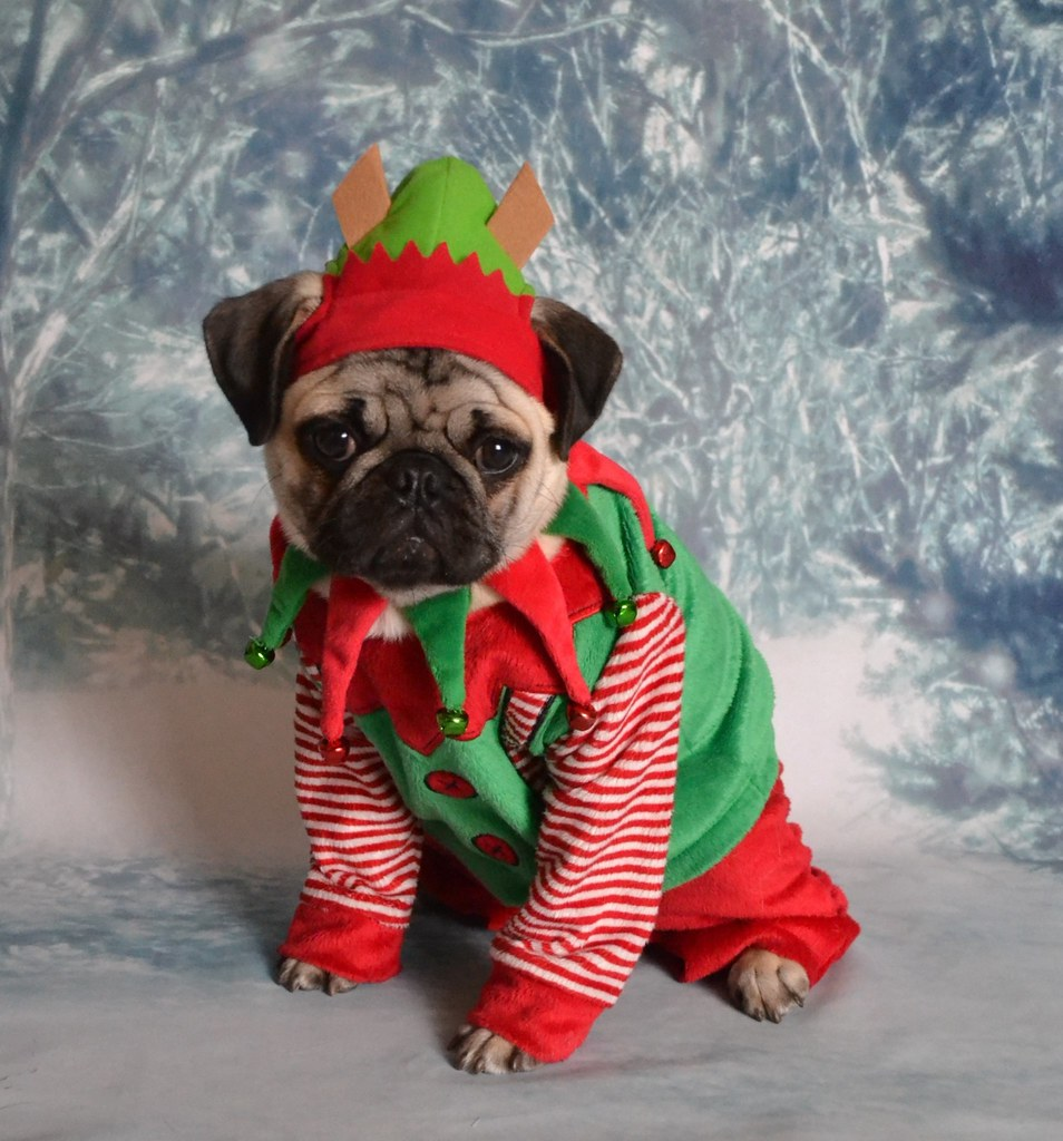 christmas pug pictures
