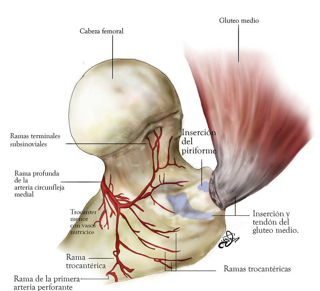 Anatomía femoral | Miguel Farfan | Flickr