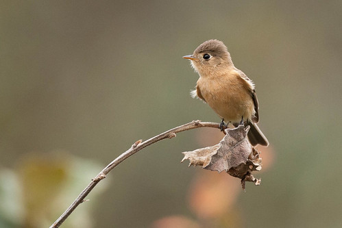 Buff-breasted Flycatcher | by Christopher L Wood