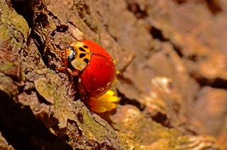 nikon d5100 no-crop macro: ladybug laying eggs on a tree trunk (photo no. 2) -------- viewed 1,741x | by norlandcruz74