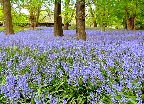 Bluebell Wood | by dimaruss34