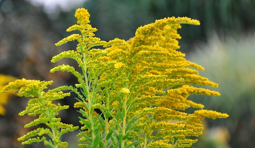 Goldenrod (Solidago gigantea Ait.) Flowers | by Scientific Photography ( 6 Million+ vi