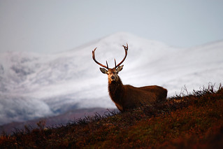 Stag in Winter | by Gavin MacRae