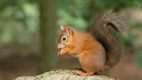 Red Squirrel | by KHR Images