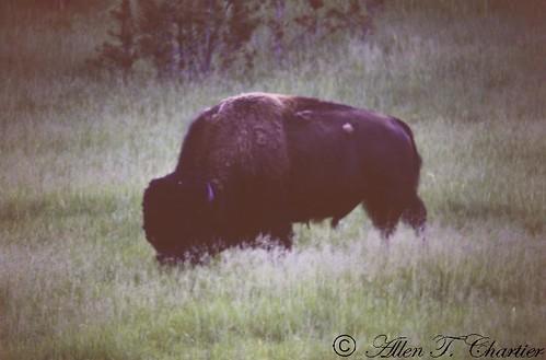 Bison bison (Buffalo)