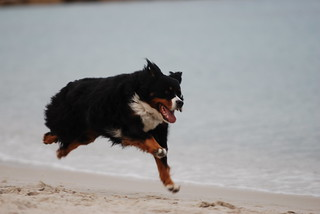 Awesome Dog Running at the Beach | by tammylo