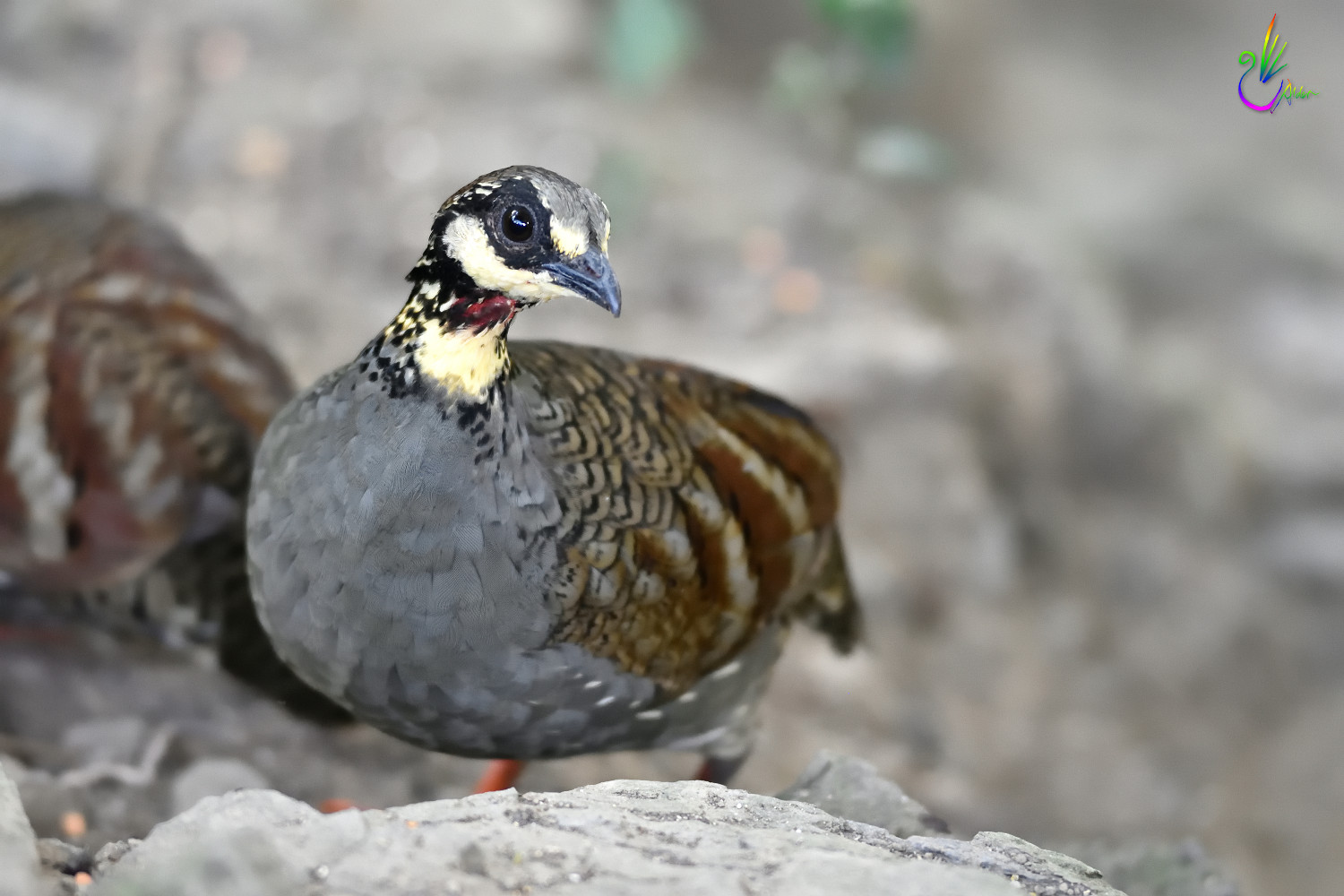 Taiwan_Hill_Partridge_8140