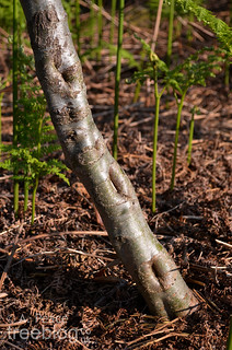090613-grey-alder-3-base | by treeblog