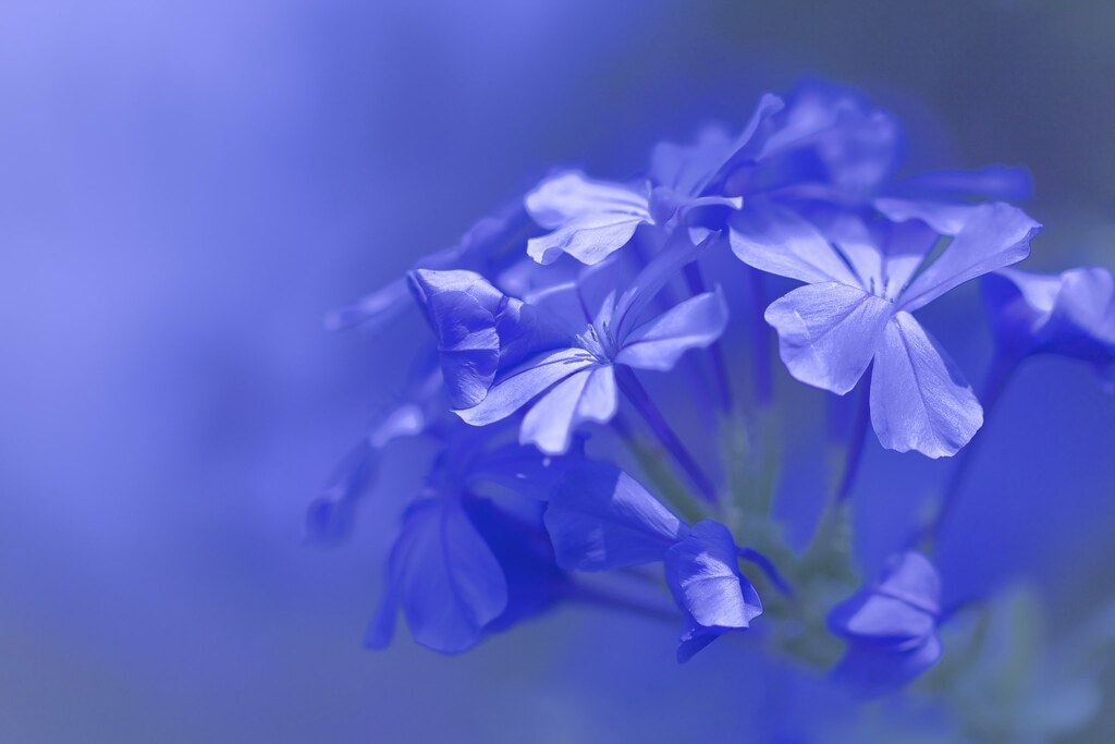 blue flowers plumbago flowers in the sunlight masahiro noguchi