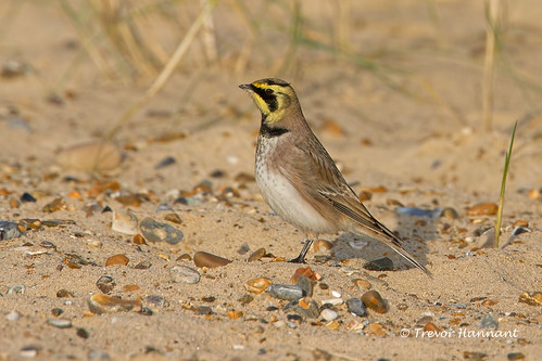"Shorelark ""Eremophila alpestris"" 