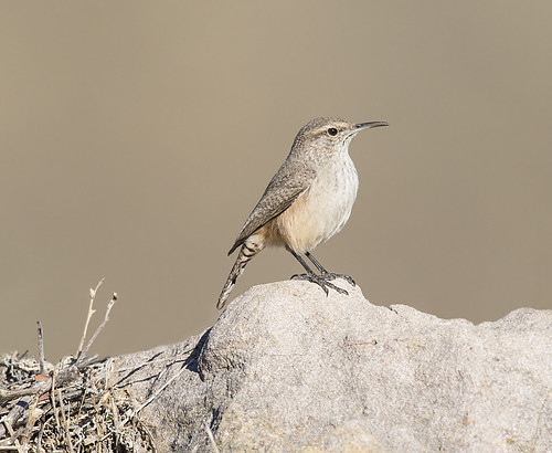 rock wren | by hawk person
