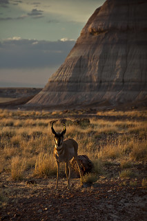 Pronghorn Antelope Petrified Forest National Park Navajo and Apache County Arizona | by Alan Grosse