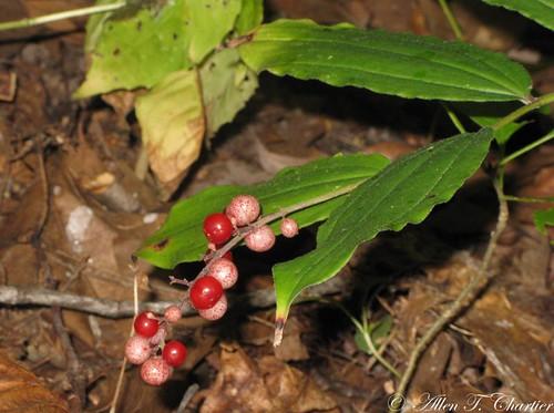 Maianthemum racemosum (False Spikenard)