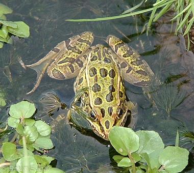 Northern Leoprd Frog