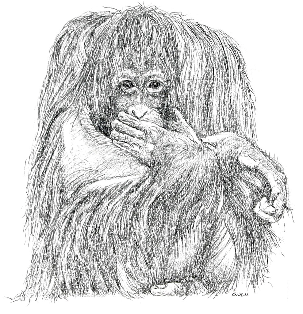 Uncategorized Orangutan Drawing orangutan pencil this drawing can be found in flickr jeanchristophegueguen by jeanchristophegueguen