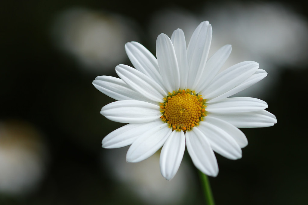 daisy flower  karthi keyan  flickr, Beautiful flower