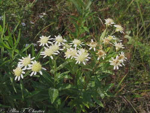 Doelingeria umbellata (Flat-topped White Aster)
