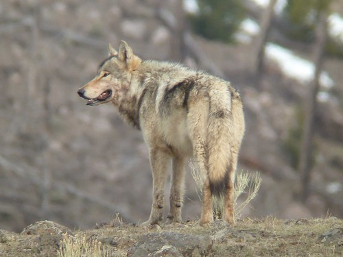 Gray Wolf, credit- Doug McLaughlin copy 2 | by Oregon State University