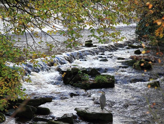 Grey Heron on River Colne, Marsden
